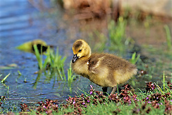 Canadian Gosling