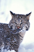 Bobcat kitten, Lynx rufus, Minnesota, USA, cub in snow with mouse