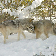 Gray wolf (Canis lupus) Two adult males in snow capped forest play fighting. Montana. Winter.  Captive Animal.