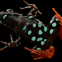 In addition to their gaudy dorsal colors, many Mantella frogs show striking ventral patterns – this may serve as a double warning of their toxicity when attacked by a curious predator. Although unrelated, Mantellas, which are all endemic to Madagascar, show remarkable convergence with Central and South America's poison dart frogs (family Dendrobatidae), and share a number of common features including skin toxicity (acquired from their diet, primarily ants) and diurnal behavior. This is the Harlequin Mantella (M. baroni) from the rainforests of Madagascar's eastern escarpment. Mantadia National Park, Madagascar.