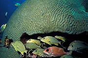 bluestripe grunts, Haemulon sciurus, and squirrelfish, Holocentrus adscensionis, sheltering under giant brain coral, Colpophyllia natans, Tavernier, Key Largo, Florida Keys ( Western Atlantic Ocean )
