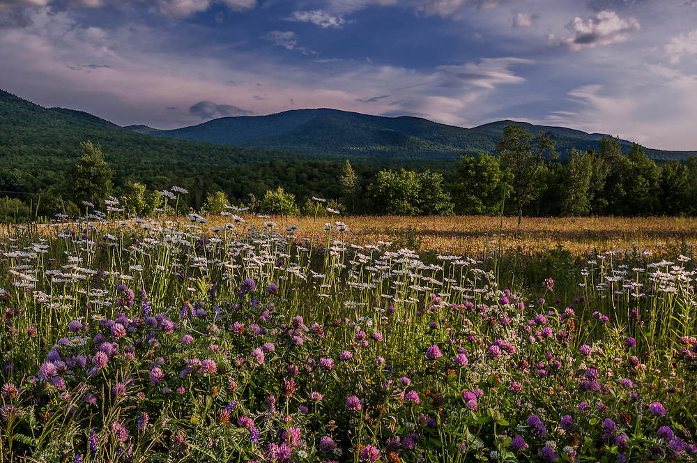 Crimson clover and daisies, wildflowers and field, with mountains beyond, Randolph, NH