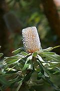 Protea, Kula Botanical Gardens, Maui, Hawaii<br />