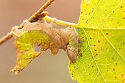 Iron prominent moth larva (Notodonta dromedarius) eating birch leaf. Surrey, UK.