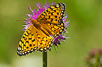 "Edward's Tritillary (Speyeria edwardsii)  Butterfly has wing span 2-2.5""."