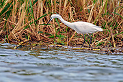 Little Egret (Egretta garzetta garzetta) from the White Nile, Uganda.