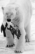 Schweden, SWE, Kolmarden, 2000: Ein Eisbaer (Ursus maritimus) traegt Stuecke eines toten Seehunds davon, Kolmardens Djurpark. | Sweden, SWE, Kolmarden, 2000: Polar bear, Ursus maritimus, walking and carrying parts of a dead seal, Kolmardens Djurpark. |