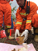 SHENZHEN, CHINA - DECEMBER 23: (CHINA OUT) <br /> <br /> A chicken is saved by rescuers from a collapsed building on December 23, 2015 in Shenzhen, Guangdong Province of China. 1 survivor was rescued and 76 were still missing after a landslide hit an industrial park and buried 33 buildings in Shenzhen city on Sunday.<br /> ©Exclusivepix Media