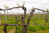 Grape vine in vinyard