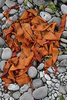 Orange seaweed on rocks on the Aran Islands Galway Ireland