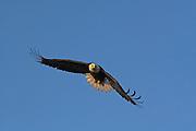 Bald Eagle, Haliaeetus leucocephalus, flying, Kenai Peninsula, Homer Spit, Homer, Alaska. Digital original, #2006_1249 ©Robin Brandt