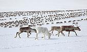Reindeer spring migration