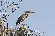 Purple Heron (Ardea purpurea) on treetop, Hefer valley, Israel