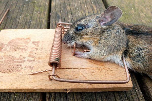 Nederland, Nijmegen, 1-5-2012Een muis dood in de muizenval. Elke avond hoorden we hem boven ons trippelen.Foto: Flip Franssen/Hollandse Hoogte
