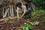 Lan Guihua, a widowed farmer, tends to her garden at her home in Ganjiagou Village, Sichuan Province, China.   (Lan Guihua is featured in the book What I Eat: Around the World in 80 Diets.)  The caloric value of her day's worth of food on a typical day in June was 1900 kcals. She is 68 years of age; 5 feet, 3 inches tall; and 121 pounds. Like most of her neighbors, the widow farmer and lifelong resident of Ganjiagou Village,  in Sichuan Province, keeps chickens, grinds her own soy beans for soy milk, and has a garden that supplies much of her greens. MODEL RELEASED.