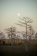 The full moon over a strand of bald cypress trees in the Big Cypress National Preserve