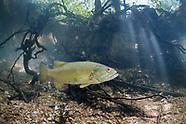 Neosho Smallmouth Bass, underwater