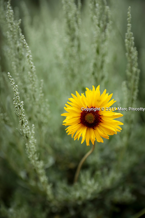 """SHOT 7/21/19 6:14:38 PM - A sunflower and sage brush along the Turtle Rock Trail at Vedauwoo Recreation Area. Vedauwoo is an area of rocky outcrops located in southeastern Wyoming, United States, north of Interstate 80, between Laramie and Cheyenne. Its name, according to some, is a romanized version of the Arapaho word """"bito'o'wu"""" meaning """"earth-born"""". (Photo by Marc Piscotty / © 2019)"""