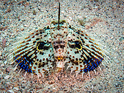 Twinspot lionfish, known commonly as the Twospot turkeyfish or ocellated lionfish in Widu Harbour, Papua New Guinea