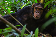 Close-up portrait of a chimpanzee (Pan troglodyte) laying on the forest floor, ,Kibale National Park, Uganda, Africa