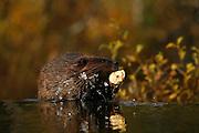 Beaver, Castor canadensis; crossing dam, carrying willow for winter food storage, pond, taiga, autumn, Denali National Park, Alaska, ©Craig Brandt, all rights reserved; brandt@mtaonline.net