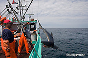 crew of longline fishing boat toss a blue shark over the side to die in the ocean after mutilating it by cutting the hook out of its jaw; unwanted low-value blue shark was hooked as bycatch while fishing for porbeagle shark, Nova Scotia, Canada ( North Atlantic Ocean )