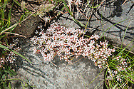 ENGLISH STONECROP Sedum anglicum (Crassulaceae) Height to 5cm. Mat-forming perennial with wiry stems. Found on rocky ground, shingle and old walls. FLOWERS are star-shaped and 12mm across with 5 white petals that are pink below (Jun-Sep). FRUITS are dry and red. LEAVES are 3-5mm long, fleshy and often tinged red. STATUS-Widespread and locally common, especially in W Britain and Ireland.