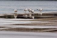 gabbiani, sea gulls