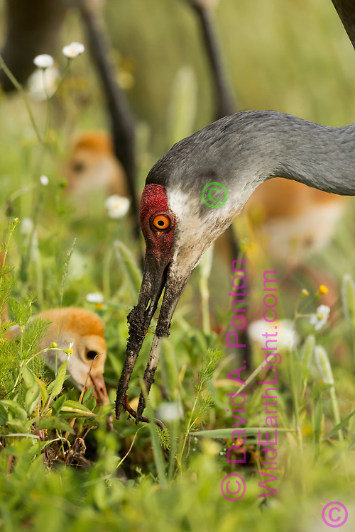 Sandhill crane adult offers worm to downy young colt. Mud shows on the adult's beak from probing in wet soil, Florida, ©  David A. Ponton