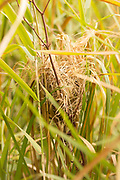Harvest mouse (Micromys minutus) nest in wetland grasses. Surrey, UK.