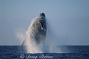 humpback whale, Megaptera novaeangliae, breaching, Hawaii Island, #3 in sequence of 9; caption must include notice that photo was taken under NMFS research permit #587