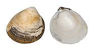 norway cockle<br /> Laevicardium crassum
