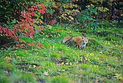 Red fox (Vulpes vulpes)  <br />FAirbanks Provincial Park<br />Ontario<br />Canada