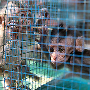 Baby macaques for sale at a wildlife market in Southeast Asia.