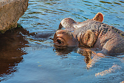 This Hippopotamus Plays A Bit Of Peekaboo Below The Water at the Saint Louis Zoo. The hippopotamus, or hippo, from the ancient Greek for 'river horse', is a large, mostly herbivorous mammal in sub-Saharan Africa, and one of only two extant species in the family Hippopotamidae