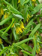 Image of Bellwort (Uvularia grandiflora) taken in Fitchburg, Wisconsin, USA.