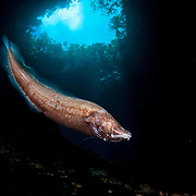A blind cusk eel survives just fine in the darkness of deep inland ponds.