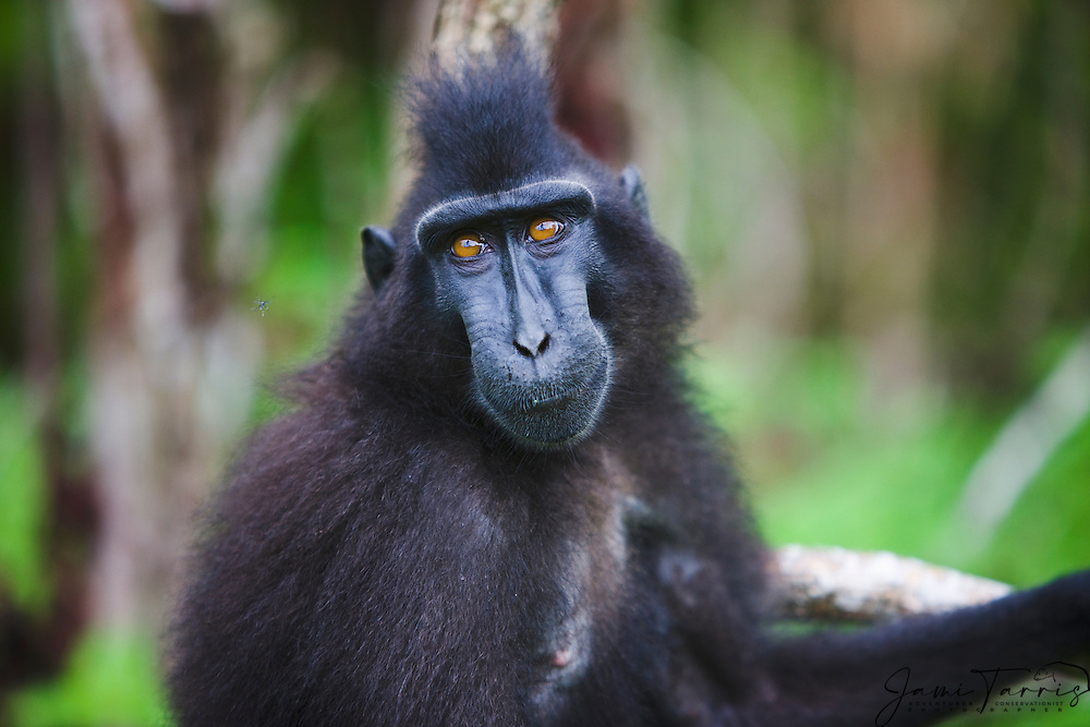 A portrait of a male Celebes Crested Macaque (Macaca nigra) with amber-colored eyes, Sulawesi, Indonesia