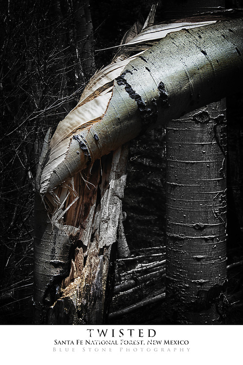 20x30 poster print of a twisted aspen.