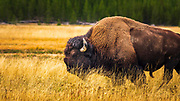 Bison, Yellowstone National Park, Wyoming USA