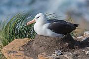 Breeding black-browed Albatross (Thalassarche melanophrys), Saunders Island, the Falklands.