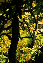 The backlit leaves of Liquidamber styraciflua - Sweet gum