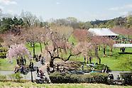 Cherry Blossom Festival | Brooklyn Botanic Garden | Sakura Matsui