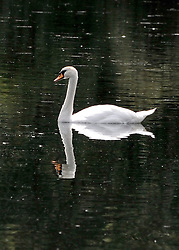 © licensed to London News Pictures. RICHMOND, UK.  02/08/11. A swan is reflected in the still water. People and animals in the hot sun today (2nd August 2011) in Richmond Park, Surrey. Temperatures are set to reach 30 degrees Celsius in some parts of London over the next few days.  Mandatory Credit Stephen Simpson/LNP