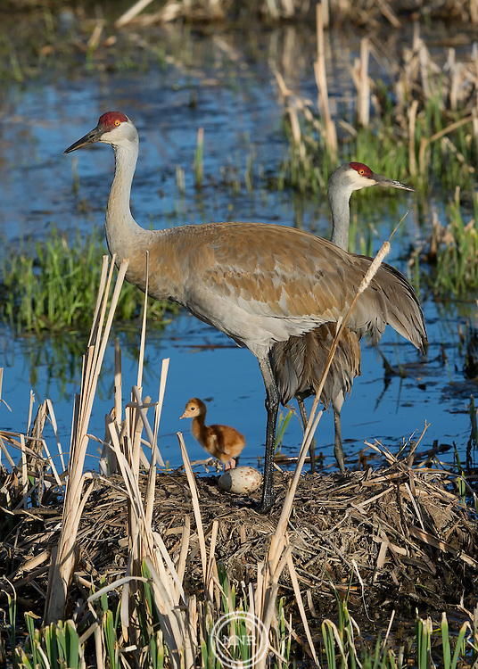 A Sandhill Crane family on it's nest early in the morning.