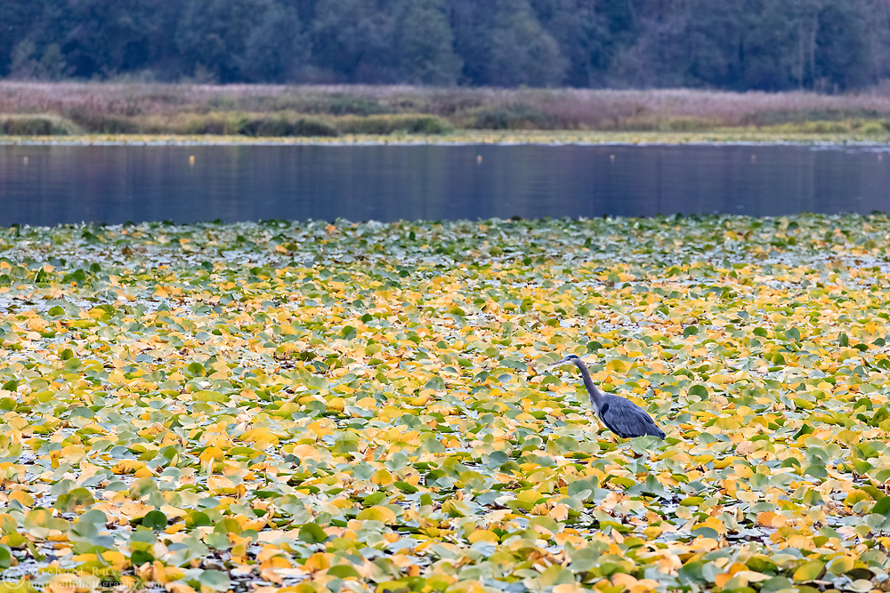 Great Blue Heron hunting in the Lily Pads at Burnaby Lake Regional Park in Burnaby, British Columbia, Canada