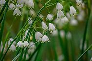 Little Snow Flower, Bridge Gardens, Bridgehampton, NY