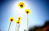 Desert Marigold, Baileya multiradiata,