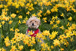 © Licensed to London News Pictures. 17/03/2017. LONDON, UK.  Georgie, a yorkshire terrier goes for a walk in the blooming daffodils in Wapping, east London during mild and sunny spring weather today. Photo credit: Vickie Flores/LNP