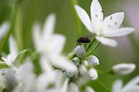Naples Garlic (Allium neapolitanum) Akamas peninsula, Cyprus